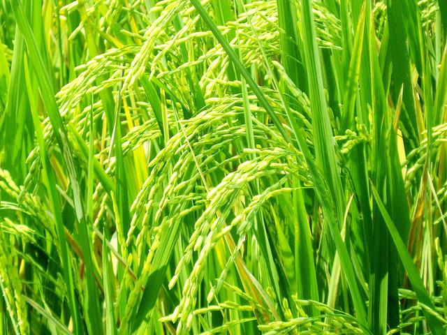 zelená rýže na plantážích